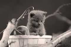 Portrait of British Shorthair kitten among branches. British Shorthair kitten in a basket among branches of tree, tree trunk Royalty Free Stock Image