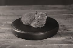Cute kitten, isolated portrait. British Shorthair kitten on a black leather pillow, wooden background royalty free stock photography