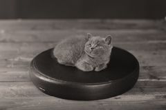 Cute kitten, isolated portrait. British Shorthair kitten on a black leather pillow, wooden background stock image