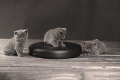 Cute kitten, portrait. British Shorthair kitten on a black leather pillow, wooden background royalty free stock photo