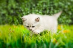 British Shorthair kitten with blue eyes on the green grass. royalty free stock photography