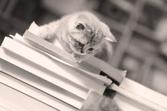 British Shorthair kitten and books. British Shorthair kitten sitting on a bunch of books, in the library Royalty Free Stock Image