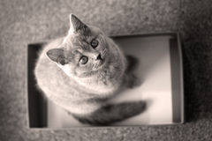 British Shorthair kitten in a box Royalty Free Stock Photography