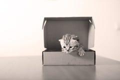 British Shorthair kitten in a cardboard box Stock Photography