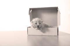 British Shorthair kitten in a cardboard box Stock Photo
