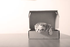 British Shorthair kitten in a cardboard box Stock Images