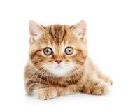 British Shorthair kitten cat isolated Stock Photo