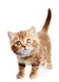 British Shorthair kitten cat isolated Stock Image