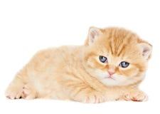 British Shorthair kitten cat isolated Stock Photos