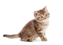 British Shorthair kitten cat isolated Royalty Free Stock Image