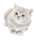 British Shorthair kitten cat isolated Stock Photo