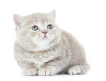 British Shorthair kitten cat isolated Royalty Free Stock Photos