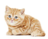 British Shorthair kitten cat isolated Stock Image
