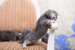British Shorthair kitten climbing Royalty Free Stock Photo