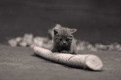 British Shorthair kitten climbing on a small trunk Royalty Free Stock Photography