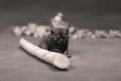 British Shorthair kitten climbing on a small trunk Stock Image
