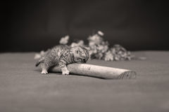British Shorthair kitten climbing on a small trunk. British Shorthair kitten playing with a branch of tree, tree trunk on a green background Stock Photography