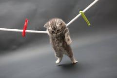 British Shorthair kitten on a cloth line Stock Image