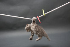 British Shorthair kitten on a cloth line Royalty Free Stock Images