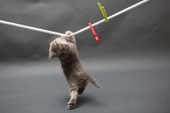 British Shorthair kitten on a cloth line Royalty Free Stock Image