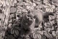 British Shorthair kitten on the coach Stock Photography
