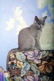 British Shorthair kitten on the coach Royalty Free Stock Image