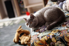 British Shorthair kitten on the coach Royalty Free Stock Photo