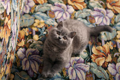 British Shorthair kitten on the coach Stock Photography