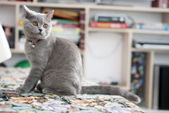 British Shorthair kitten on the coach Royalty Free Stock Images