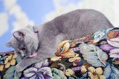 British Shorthair kitten on the coach. British Shorthair baby sitting on the coach, selfcare Royalty Free Stock Image