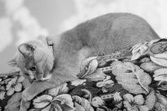 British Shorthair kitten on the coach. British Shorthair baby sitting on the coach, selfcare Royalty Free Stock Photo