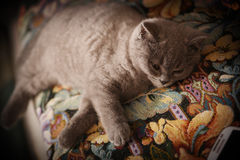 British Shorthair kitten on the coach Stock Image