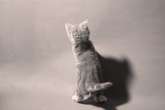 British Shorthair kitten Stock Photos