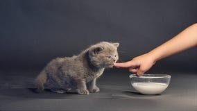 British shorthair kitten drinking milk stock video