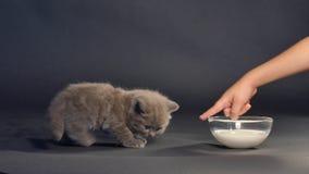 British shorthair kitten drinking milk stock footage