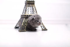 British Shorthair kitten and Eiffel Tour Royalty Free Stock Images