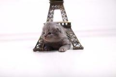 British Shorthair kitten and Eiffel Tour Royalty Free Stock Photos