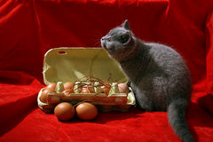 British Shorthair kitten. And few eggs in a carton, red background Royalty Free Stock Image