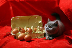 British Shorthair kitten. And few eggs in a carton, red background Stock Images