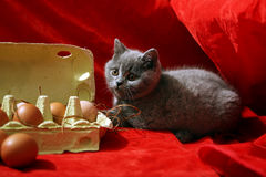 British Shorthair kitten. And few eggs in a carton, red background Royalty Free Stock Photos