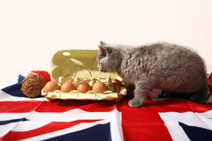British Shorthair kitten. And few eggs in a carton, Union Jack background Stock Image
