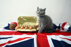 British Shorthair kitten. And few eggs in a carton, Union Jack background Stock Photo