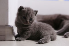 British Shorthair kitten full portrait Stock Photo