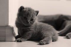 British Shorthair kitten full portrait Royalty Free Stock Images