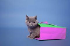British Shorthair kitten Royalty Free Stock Photo