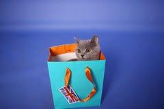 British Shorthair kitten Stock Images