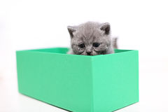 British Shorthair kitten in a green box. Cute British Shorthair kitten in a green cardboard box, white background Royalty Free Stock Photography