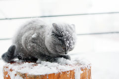 British Shorthair kitten. Grey British Shorthair out in the snow royalty free stock photography