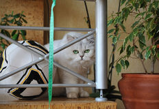 British shorthair kitten hiding Royalty Free Stock Photography