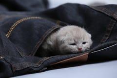 White kitten in jeans pocket. British Shorthair kitten hiding sitting in a blue jeans pocket. Cute face Stock Photos